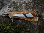 1313 Catoptria pinella