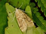 1345 Brown China-mark (Elophila nymphaeata)