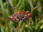1362 Pyrausta purpuralis