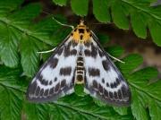 1376 Small Magpie (Eurrhypara hortulata)