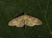 1377 Perinephela lancealis