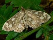 1378 Phlyctaenia coronata