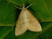 1385 Ebulea crocealis
