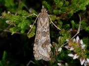 1398 Rush Veneer (Nomophila noctuella)