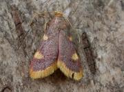 1413 Gold Triangle (Hypsopygia costalis)