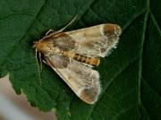 1417 Meal Moth (Pyralis farinalis)