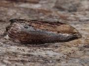 1425 Wax Moth (Galleria mellonella)