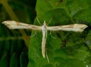 1504 Platyptilia pallidactyla