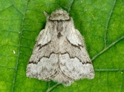 1632 Pale Eggar (Trichiura crataegi) male moth