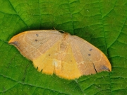 1646 Oak Hook-tip (Watsonalla binaria)
