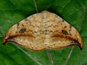 1648 Pebble Hook-tip (Drepana falcataria)