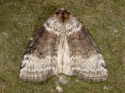 1656 Satin Lutestring (Tetheella fluctuosa)