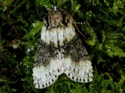 1660 Frosted Green (Polyploca ridens)