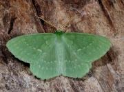 1666 Large Emerald (Geometra papilionaria)