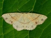 1680 Maiden's Blush (Cyclophora punctaria)