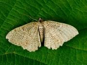 1789 Scallop Shell (Rheumaptera undulata)