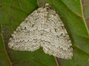 1795 Epirrita species
