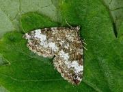 1803 Small Rivulet (Perizoma alchemillata)