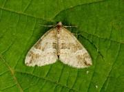1804 Barred Rivulet (Perizoma bifaciata)