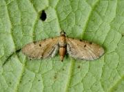 1830 Wormwood Pug (Eupithecia absinthiata)
