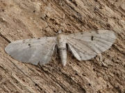 1833 Bleached Pug (Eupithecia expallidata)