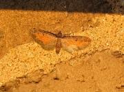 1838 Tawny Speckled Pug (Eupithecia icterata)
