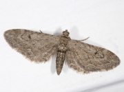 1849 Ash Pug (Eupithecia innotata f. fraxinata)