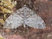 1879 The Seraphim (Lobophora halterata)