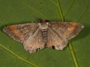 1893 Tawny-barred Angle (Macaria liturata) - f. nigrofulvata
