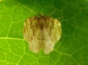 1901 Little Thorn (Cepphis advenaria)