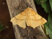 1912 August Thorn (Ennomos quercinaria)