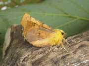 1913 Canary-shouldered Thorn (Ennomos alniaria)