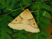 1921 Scalloped Oak (Crocallis elinguaria)
