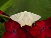 1922 Swallow-tailed Moth (Ourapteryx sambucaria)