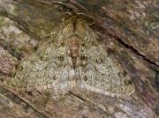 1926 Pale Brinded Beauty (Phigalia pilosaria)