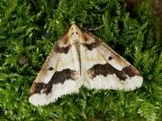 1935 Mottled Umber (Erannis defoliaria)