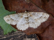 1948 Small Engrailed (Ectropis crepuscularia)