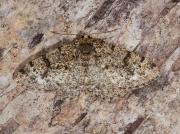 1950 Brindled White-spot (Parectropis similaria)