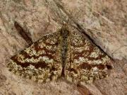 1952 Common Heath (Ematurga atomaria) - male
