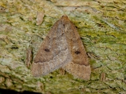 1960 Early Moth (Theria primaria)