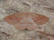 1962 Barred Red (Hylaea fasciaria)