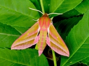 1991 Elephant Hawk-moth (Deilephila elpenor)