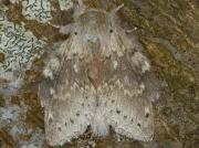 1999 Lobster Moth (Stauropus fagi)