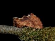 2008 Coxcomb Prominent (Ptilodon capucina)
