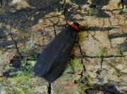 2039 Red-necked Footman (Atolmis rubricollis)