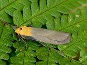 2051 Four-spotted Footman (Lithosia quadra)