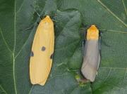 2051 Four-spotted Footman (Lithosia quadra) - pair
