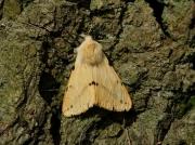 2061 Buff Ermine (Spilosoma luteum)