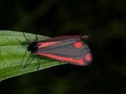 2069 The Cinnabar (Tyria jacobaeae)