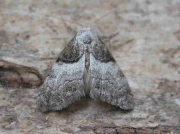 2077 Short-cloaked Moth (Nola cucullatella)